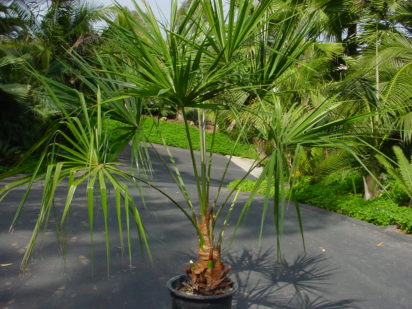 Livistona decora - ribbon palm